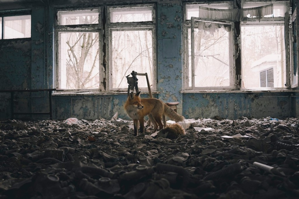 Red fox poised in room of abandoned gas masks, Pripyat.