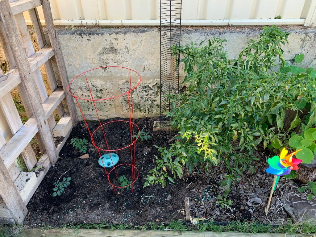 Newly planted cherry tomatoes and the chillies all grown up