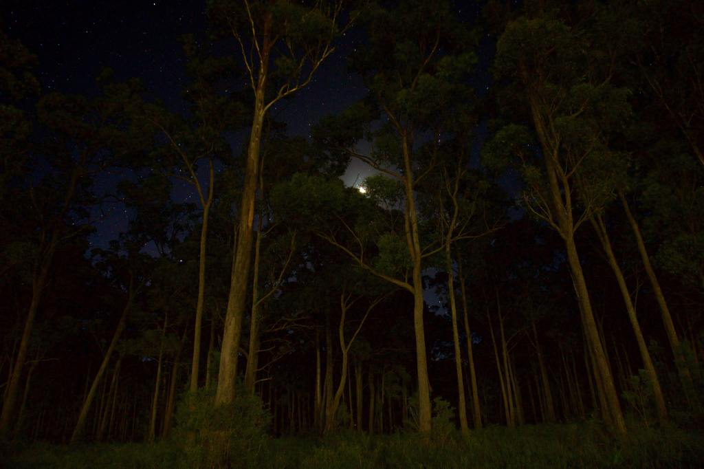 Tall, thin trees in darkness, low angle shot, moon and stars visible behind the canopy.