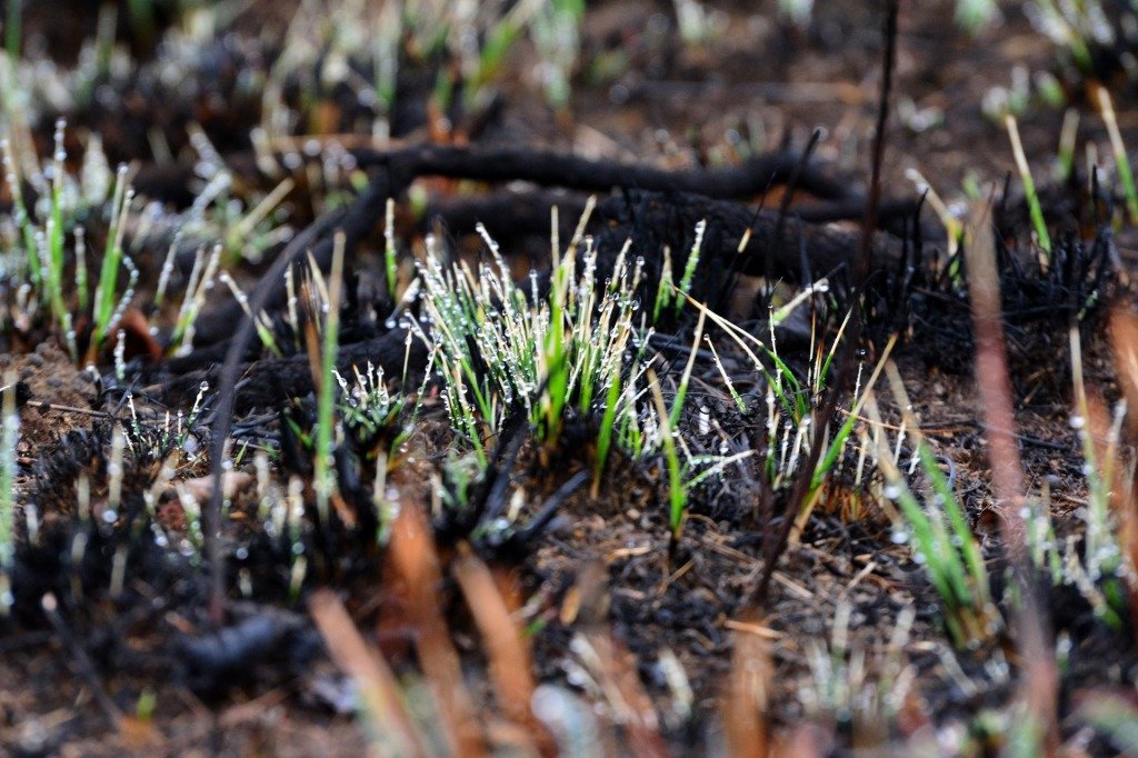 New grass shoots growing from burned ground