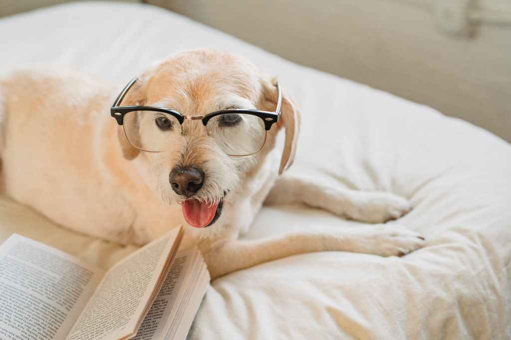 dog wearing glasses on a white bedspread bed, open book beside them
