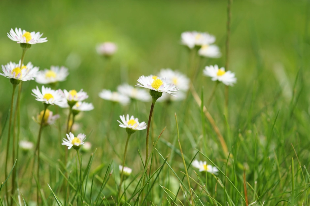 Common daisies in grass