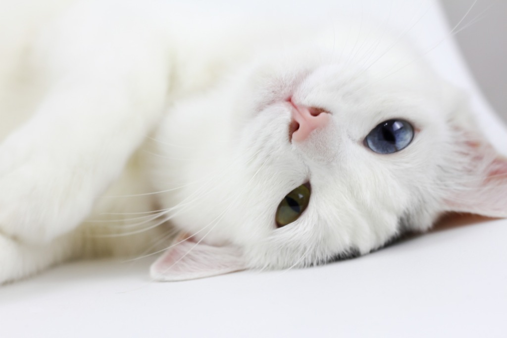 White cat lying with head upside down, looking at camera with one blue and one yellow eye