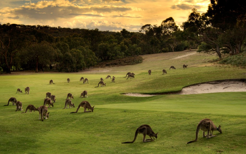 A group of kangaroos on a golf course grazing on the grass